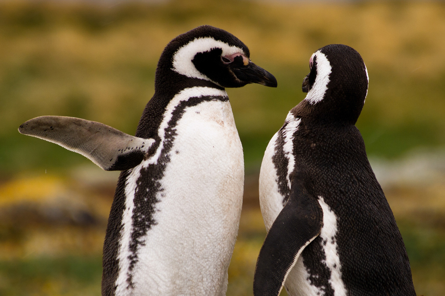 Chile, Pinguine